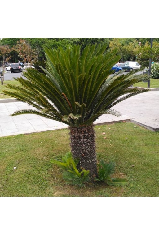 Semilla Cycas revoluta  1 ud.