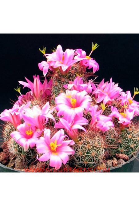 Semillas Mammillaria mix 20 ud.