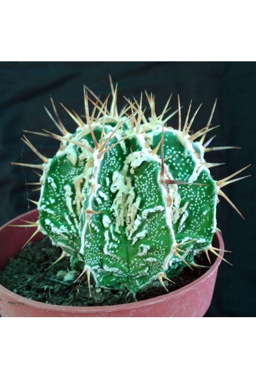 Astrophytum ornatum fukuryu