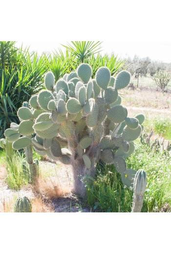 Opuntia leucotricha(Esqueje)