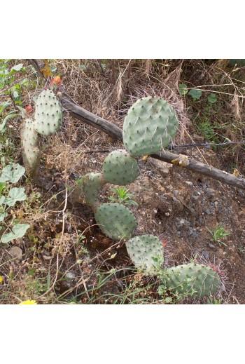 Opuntia stenopetala(Esqueje)