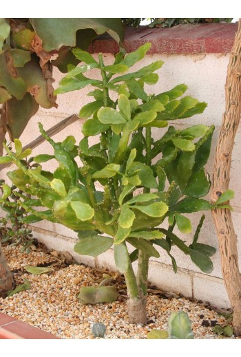 Brasiliopuntia brasiliensis(Esqueje)