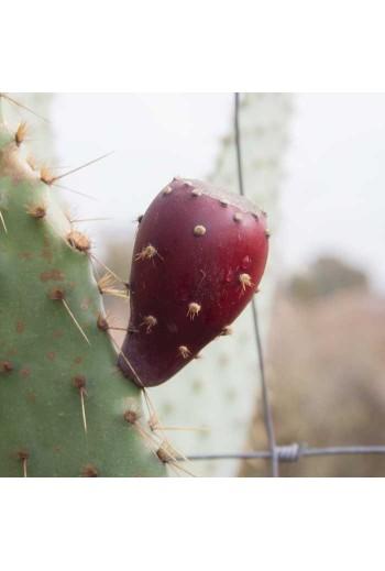 Semillas Opuntia engelmannii var. linguiformis