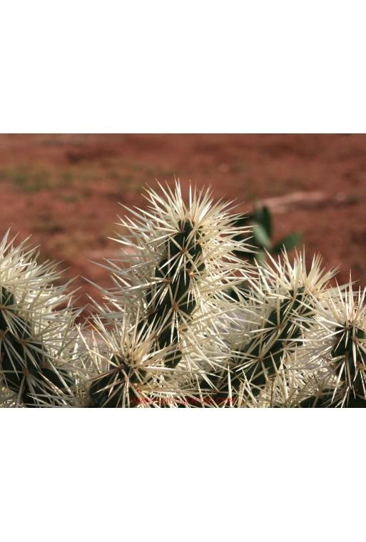 Cylindropuntia tunicata(Esqueje)