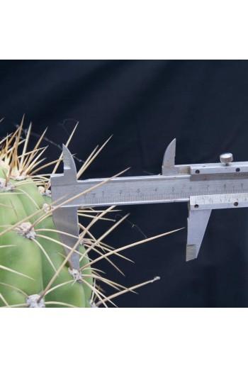 Echinopsis terscheckii (Ref 003)