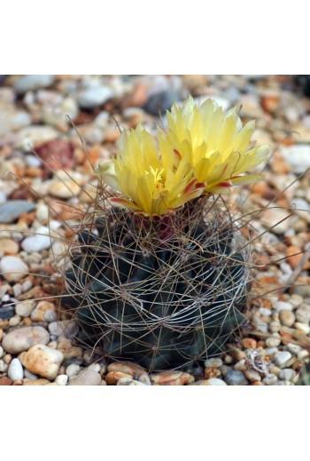 Ferocactus hamatacanthus 20 Semillas