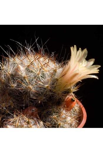 Mammillaria prolifera 20 Semillas