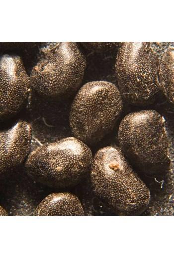Ferocactus pottsi 20 Semillas