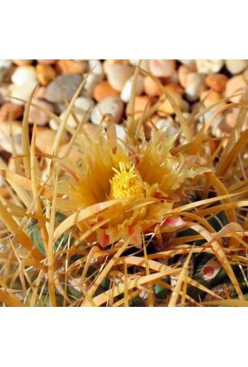 Ferocactus chrysacanthus 20 Semillas