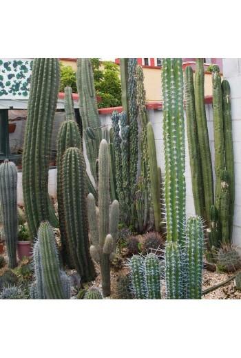 Semillas de cactus variados.