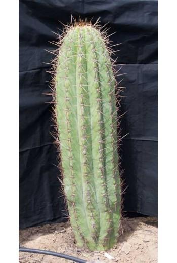 Echinopsis terscheckii (Ref 004)