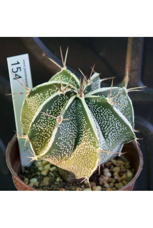 Astrophytum  ornatum CV HAKUJO 9cm  (Ejemplar 154)