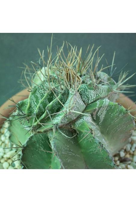 Astrophytum ornatum cristado (Especial 180)