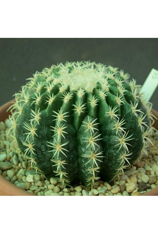 Echinocactus grusonii brevispinus 12 CM (Especial 55)