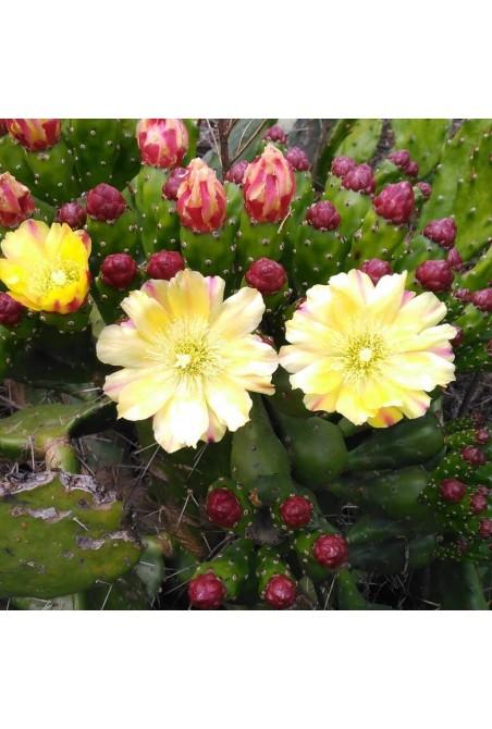 Opuntia monacantha(Esqueje)