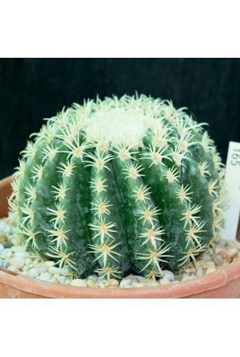Echinocactus grusonii...
