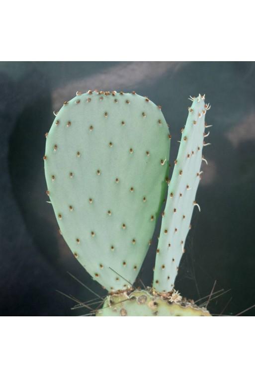 Opuntia santa-rita (Esqueje sin Enraizar)