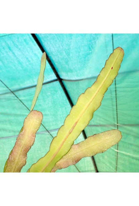 Pseudorhipsalis macrantha