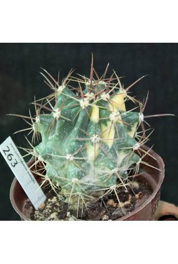 Ferocactus rectispinus Variegado (Especial 31)