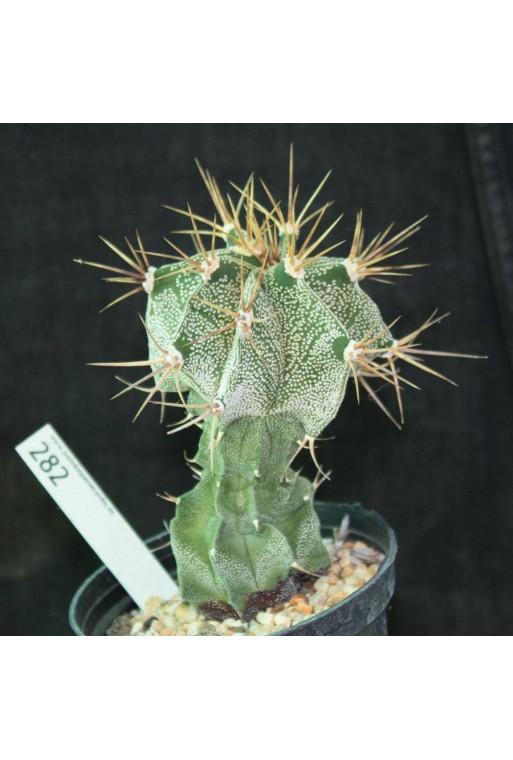 Astrophytum ornatum (Especial 282)