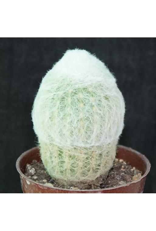 Tephrocactus molinensis