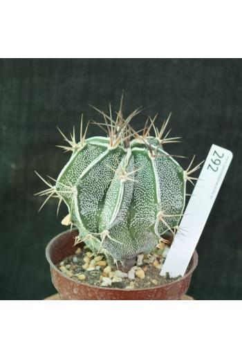 Astrophytum ornatum (Especial 292)