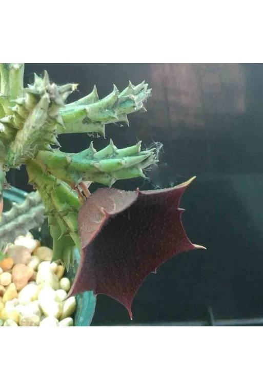 Huernia keniensis RM1128 Esqueje sin enraizar