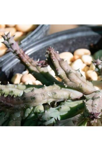 Huernia hystrix subsp....