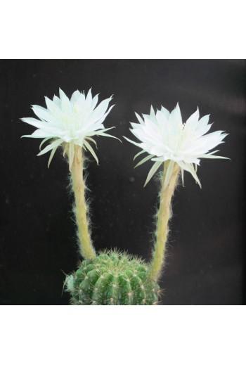 Echinopsis calochlora(M9)