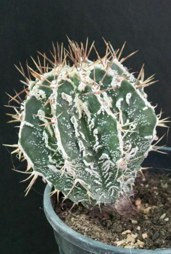 Astrophytum ornatum cv...