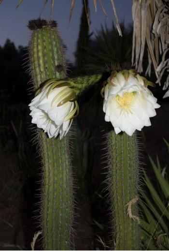 Echinopsis spachiana...