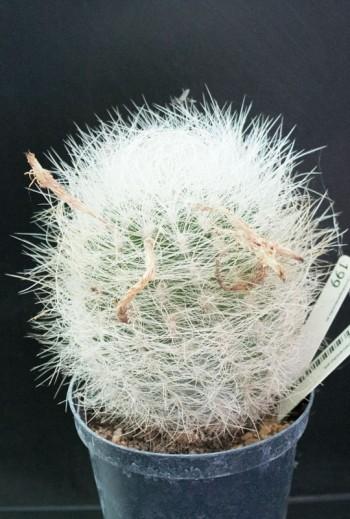 Eriosyce senilis  (Especial...