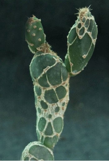 copy of Opuntia zebrina...