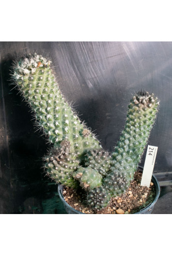 copy of Trichocereus...