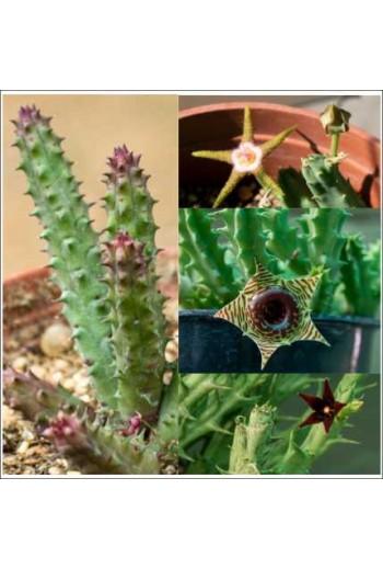 Semillas Asclepidaceas Mix...