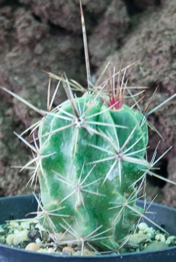 Ferocactus robustus