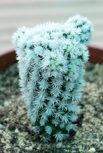 Mammillaria gracilis snow cap