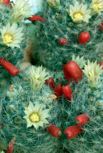 Semillas Mammillaria...