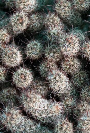 Mammillaria thornberi...