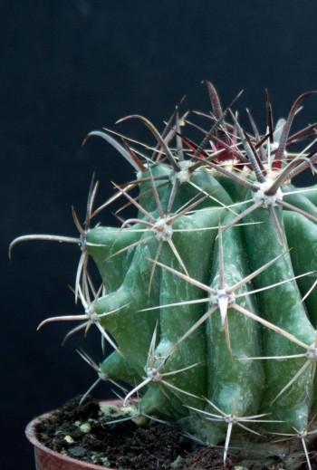 Ferocactus herrerae (M9)