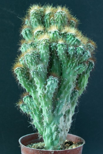 Cereus peruvianus minor M9