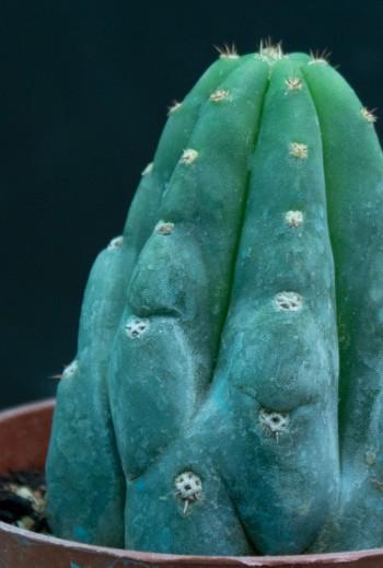 Echinopsis pachanoi (M9)