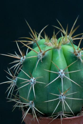 Echinopsis pasacana M9