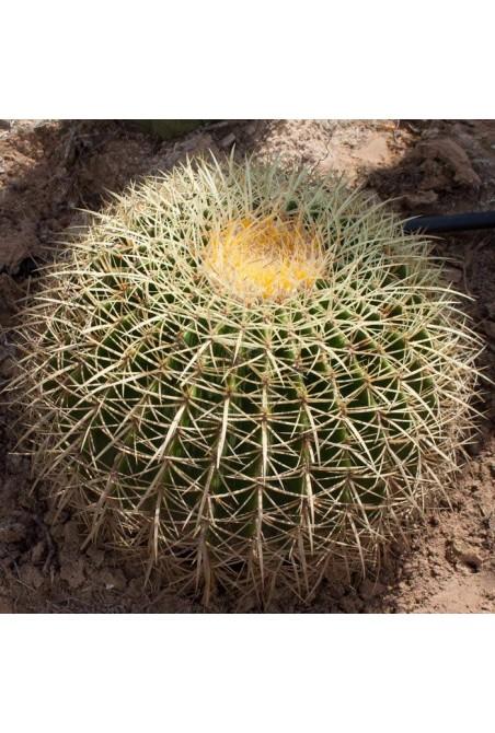 Echinocactus grusonii  30 Cm