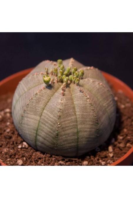 Euphorbia obesa Macho