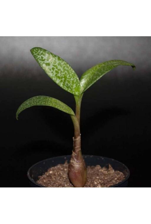 Ledebouria pauciflora
