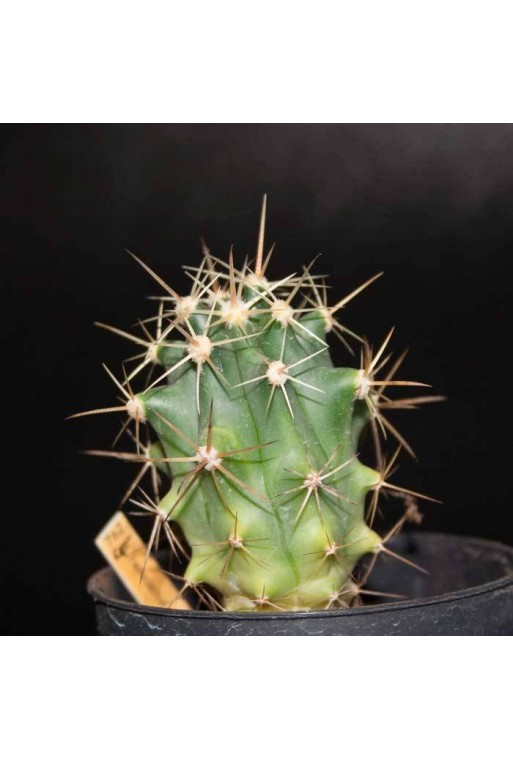 Ferocactus emoryi Spp rectispinus