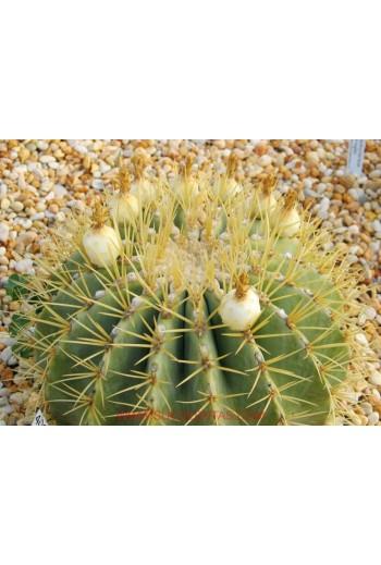 Semillas de  Ferocactus...