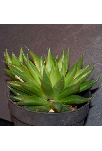 Semillas Haworthia mix 20  ud.